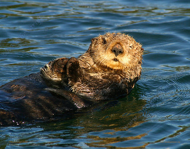 A Sea Otter relaxes in Seldovia Bay