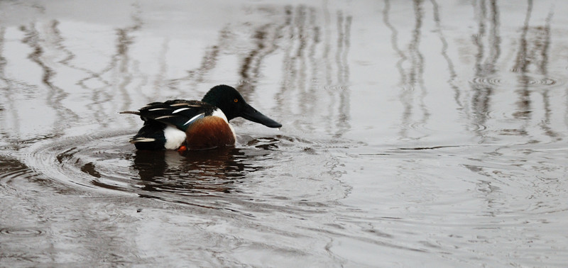 I believe this is a Northern Shoveler duck, but I could be wrong.