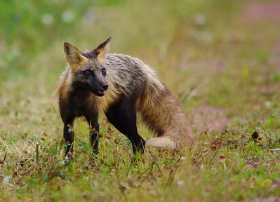 Cross Fox PEI National Park Cavendish, PEI Canada