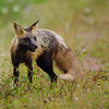 Cross Fox<br /> PEI National Park<br /> Cavendish, PEI Canada