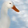 Domestic duck.