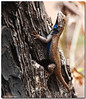 Apr 15<br /> Western Fence Lizard