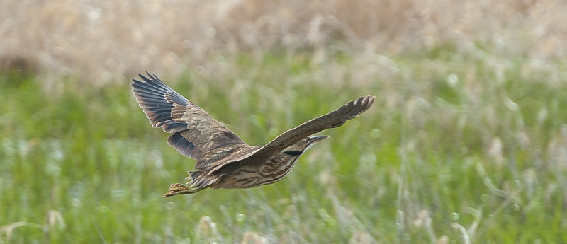 Flying Bittern