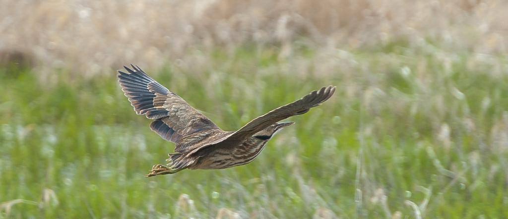 Flying Bittern