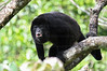 An adult black Howler monkey on a tree howling at Costa Rica.