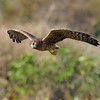 northern harrier<br /> Green Cay Nature Center