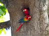 This pair of nesting scarlet macaws were seen in the Carara National Park area of Costa Rica. They mate for life.
