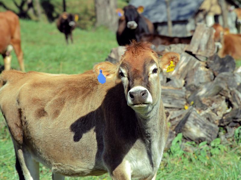 Cute Cow in Wisconsin
