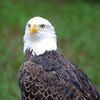 Bald Eagle - Homosassa Springs Wildlife State Park