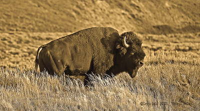 """Massive"", Bison bison, Hayden Valley, Yellowstone N.P., Wy., Aug.'08"