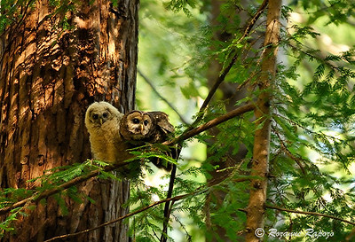 """""""Pray for Prey""""  This female Spotted Owl had two fledglings and movement on the forest floor had caught her attention.  She soon returned to her perch with a mouse to feed one of her youngsters."""