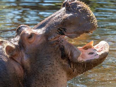 Lou the Hippo