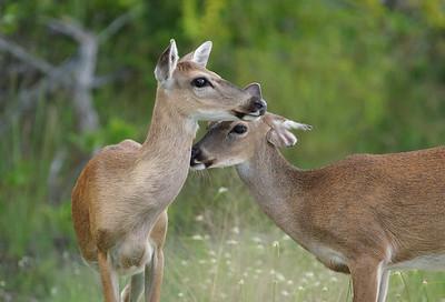 key deer (subspecies of the white-tailed deer) Big Pine Key, Florida Keys