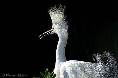"""Bad Hair Day""  A Snowy Egret displays during the breeding season."