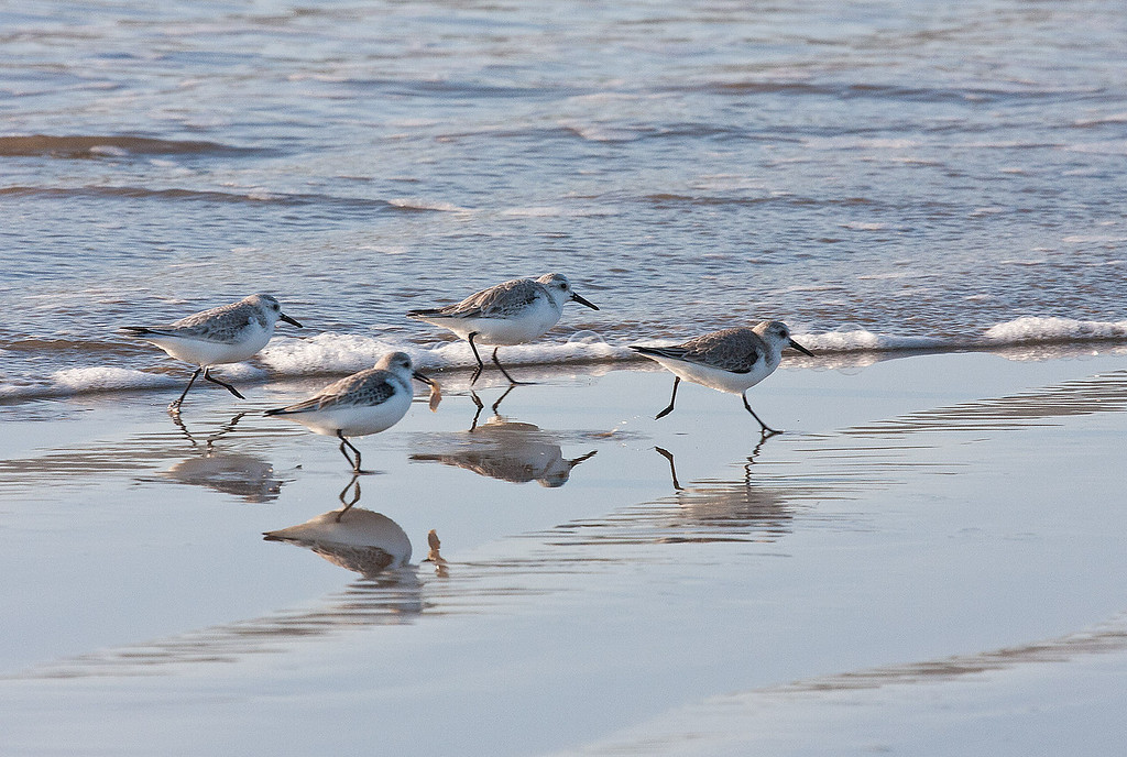 Sanderlings at Pismo Beach, CA