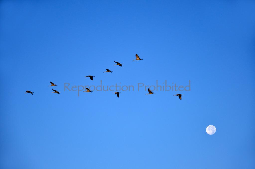 Across The Moon Snow Cranes, Monte Vista National Wildlife Refuge, CO.   Winter 2011