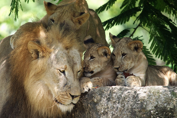 Adult Male Lion with cubs  Zoo Miami