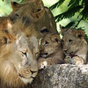 Adult Male Lion with cubs <br /> Zoo Miami