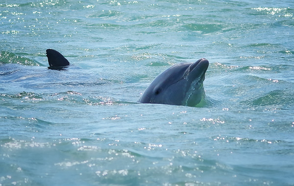 pod of bottle-nosed dolphins Marco Island, FL