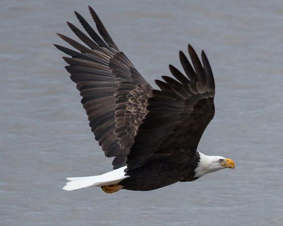 Winged Bald Eagle