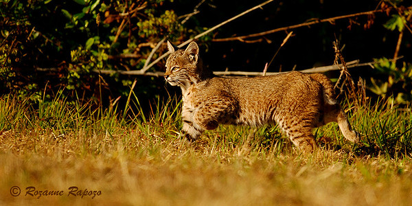 """""""Here Kitty, Kitty""""  I had been photographing an adult bobcat. Then, I realized there was a young bobcat looking for its mother.  The sun was setting and the golden light was perfect."""