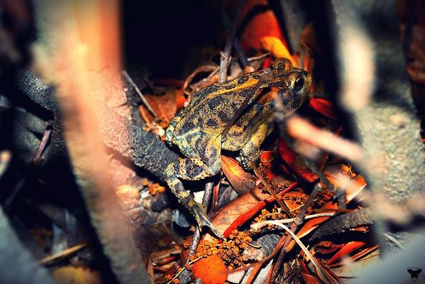 Oak Toad_Hilton Head