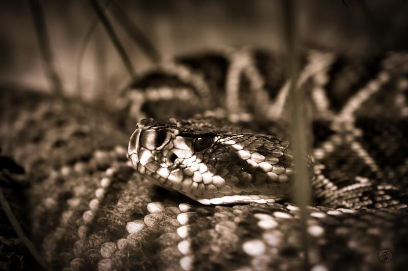 Georgia Rattlesnake