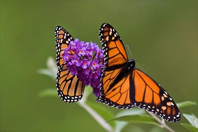 #1167 Twin Monarchs
