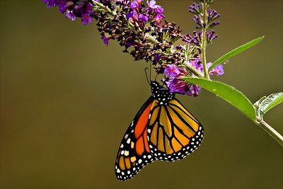 Monarch Butterfly, Catus Island, NJ.