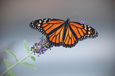 #114 Monarch, Cattus Island, Toms River, NJ.