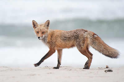 #367 Fox on Beach, Island Beach State Park, NJ.