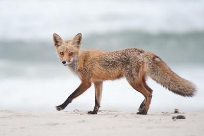 #367 Fox on Beach, Island Beach State Park, NJ.