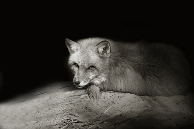 Red Fox in Shadows, Medford, NJ.