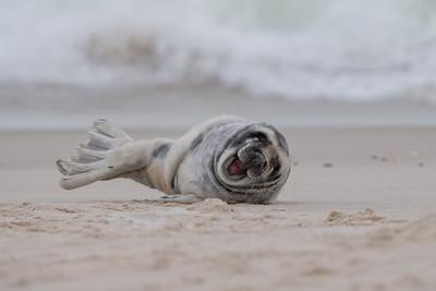 #1370 Gray Seal