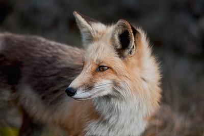 #68 Red Fox, Island Beach State Park, NJ.