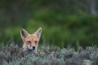 """#285 """"Lookout"""", Red Fox, Island Beach State Park, NJ"""