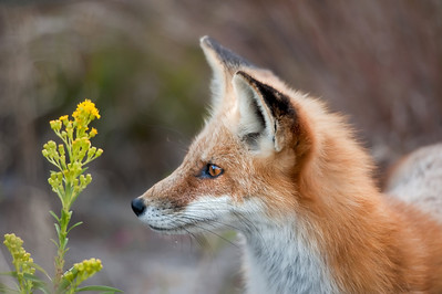 Red Fox, Island Beach State Park, NJ.