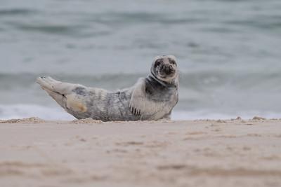 #1372 Gray Seal