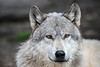 """#352 """"The Alpha"""" wolf at the Howling Woods Farm, Jackson, NJ."""