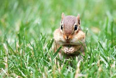 #84 Chubby Chipmunk, Toms River, NJ.