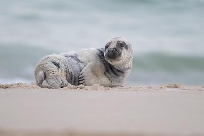 #1371 Gray Seal