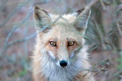#66 Eyes of a Fox