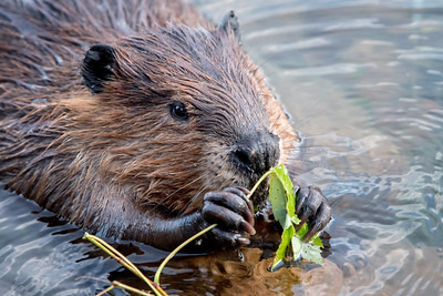 #624 Beaver