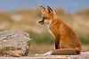 Red Fox, Sandy Hook Park, NJ.  This is an award winner. See Bio on main page.