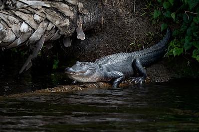 #1182 Gator