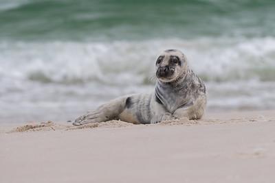 #1369 Gray Seal