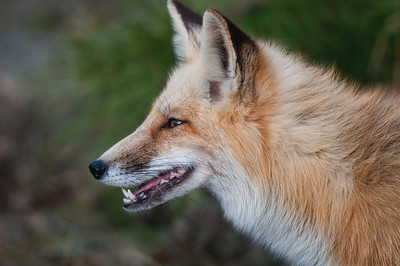 Red Fox II, Island Beach State Park, NJ.