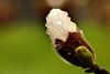 Rainy Sunday - Magnolienblüte