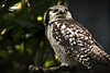 Sperbereule / Northern Hawk-Owl / Surnia ulula
