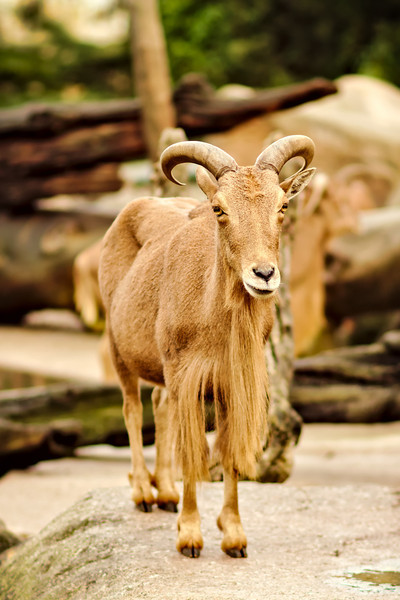 Mähnenspringer / Barbary sheep / Ammotragus lervia